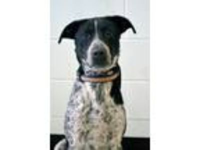 Adopt Axle a Cattle Dog, Pointer