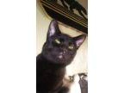 Adopt Binx a All Black Domestic Shorthair (short coat) cat in Fairborn