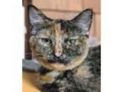 Adopt Beth a Domestic Shorthair / Mixed cat in Brighton, MO (25358892)