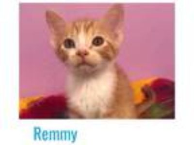 Adopt Remmy a Orange or Red Domestic Shorthair / Domestic Shorthair / Mixed cat