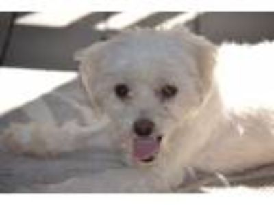Adopt Roanoke a Tan/Yellow/Fawn - with White Terrier (Unknown Type