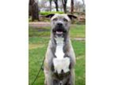Adopt Saint Nic a Gray/Blue/Silver/Salt & Pepper Weimaraner dog in oklahoma