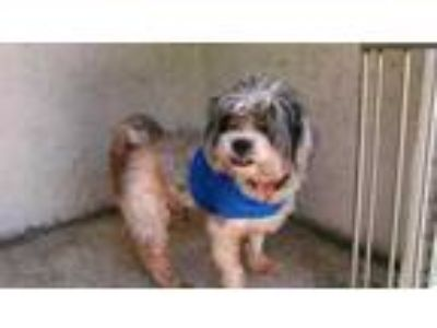 Adopt a White - with Gray or Silver Shih Tzu / Mixed dog in Fort Lauderdale