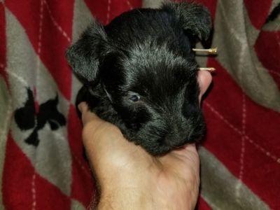 Scottish Terrier PUPPY FOR SALE ADN-74981 - scottish terrier puppies