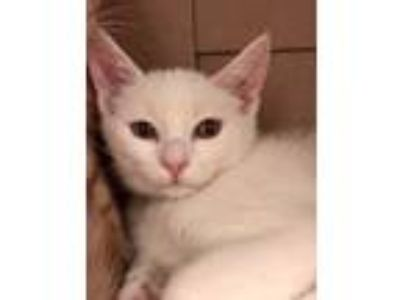 Adopt Shawnee a White Domestic Shorthair (short coat) cat in Concord