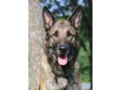 Adopt Ripley a Belgian Shepherd / Malinois, German Shepherd Dog