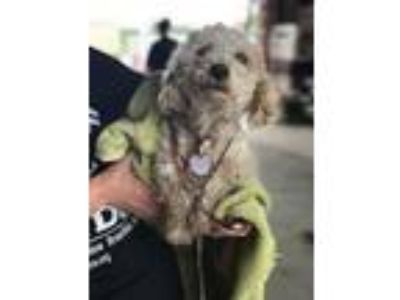 Adopt Pearl a Poodle