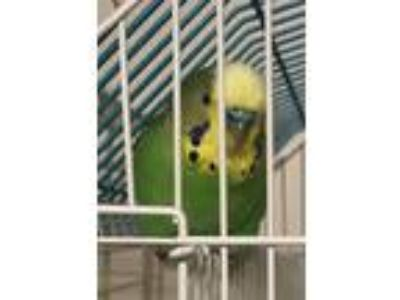 Adopt Teal a Parakeet - Other bird in San Diego, CA (25200014)