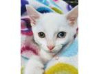 Adopt Chrissy a White Domestic Shorthair / Domestic Shorthair / Mixed cat in