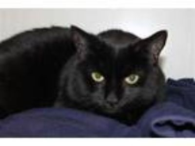 Adopt Sparo a Domestic Shorthair / Mixed cat in San Luis Obispo, CA (25366837)