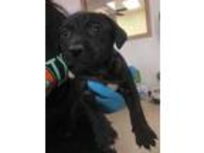Adopt Marcel a Black Labrador Retriever / Mixed dog in Edinburg, TX (25314796)