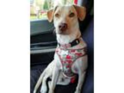 Adopt Ron a Yellow Labrador Retriever, Whippet