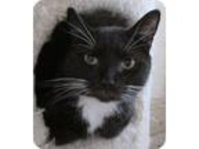 Adopt Benny a Black & White or Tuxedo Domestic Shorthair (short coat) cat in
