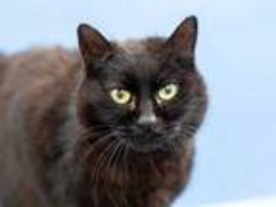 Adopt MOWMOW a All Black Domestic Longhair / Mixed (long coat) cat in Martinez