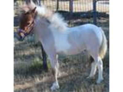 AMHAAMHR 2 Year Old Bay Roan Pinto Mare
