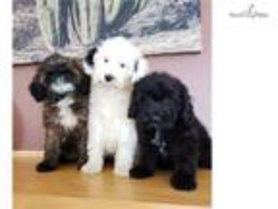 Beautiful Ttoodle (Tibetan Terrier & Poodle) Puppi