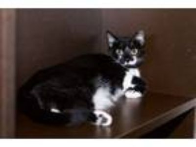 Adopt Prissy a Black & White or Tuxedo Domestic Shorthair (short coat) cat in
