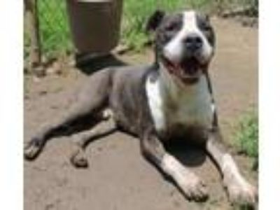 Adopt Loco a Pit Bull Terrier / Mixed dog in Memphis, TN (14351380)