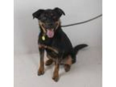 Adopt Silly Billy Foster Needed July 20 a Rottweiler