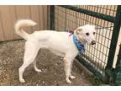 Adopt FLAKE a White Shepherd (Unknown Type) / Great Pyrenees / Mixed dog in