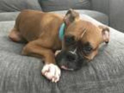 Adopt Jesse James a Tan/Yellow/Fawn - with White Boxer dog in Waldorf