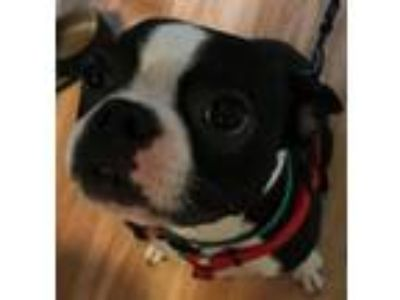Adopt Sid in ME a Boston Terrier
