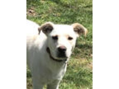 Adopt Journey a Yellow Labrador Retriever