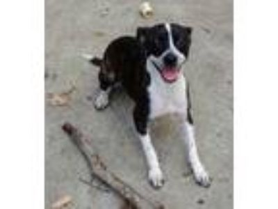 Adopt Jada Powell KY a Brindle - with White Boston Terrier / Mixed dog in