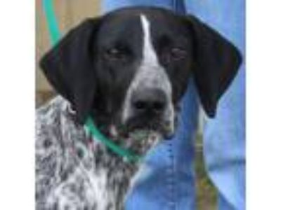 Adopt Athens a German Shorthaired Pointer