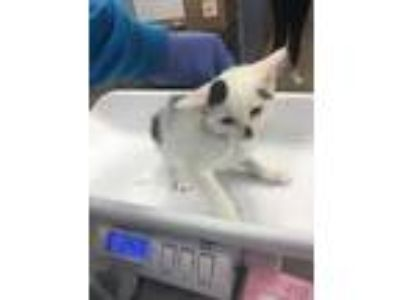 Adopt Valerie a White Domestic Shorthair / Domestic Shorthair / Mixed cat in