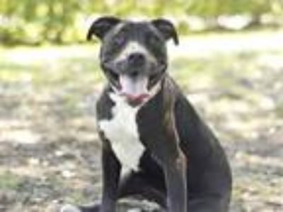 Adopt SHAKIRA a Black - with White Labrador Retriever / Mixed dog in Tavares