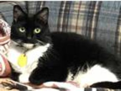 Adopt Dixie a Black & White or Tuxedo Domestic Shorthair / Mixed (short coat)