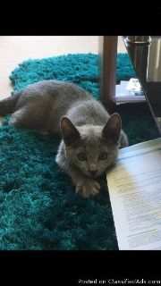 Stunning female Russian Blue kitten