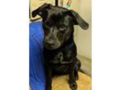 Adopt Gene 6-22-19 a Black Beagle / Labrador Retriever / Mixed dog in Dickson