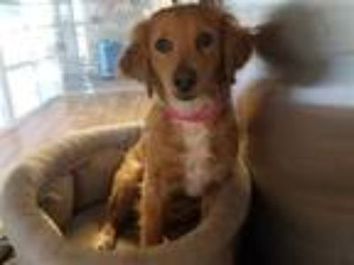 Adopt TORI a Red/Golden/Orange/Chestnut - with White Cocker Spaniel / Dachshund