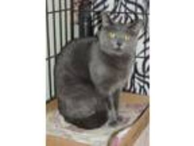 Adopt Sophia a Gray or Blue Domestic Shorthair / Domestic Shorthair / Mixed cat