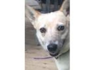 Adopt Annie a Australian Cattle Dog / Blue Heeler, Mixed Breed