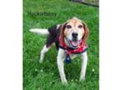 Adopt Huckleberry a Beagle / Mixed dog in Pittsburgh, PA (25837232)