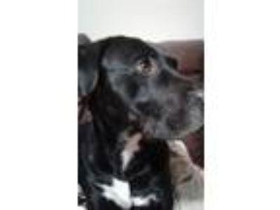Adopt Ranger a Black - with White Labrador Retriever / American Pit Bull Terrier