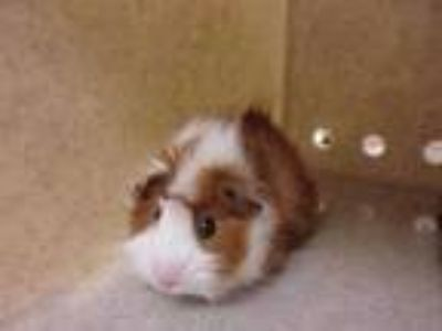 Adopt Gumball a Orange Guinea Pig / Guinea Pig / Mixed small animal in Reno