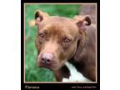 Adopt Florance a Brown/Chocolate American Pit Bull Terrier / Mixed dog in
