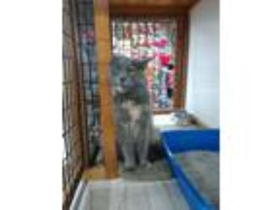 Adopt Kimchi a Gray or Blue (Mostly) Maine Coon (medium coat) cat in Wellesley