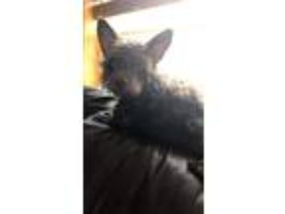 Adopt Griffin - Adoption Pending a Wirehaired Terrier, Scottish Terrier