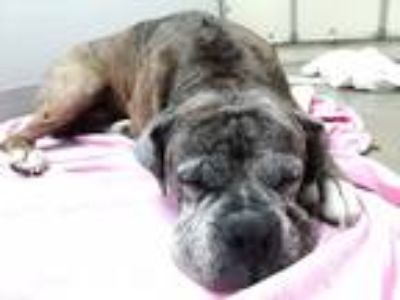 Adopt HENRY a Brindle Boxer / Mixed dog in Troy, OH (25237794)