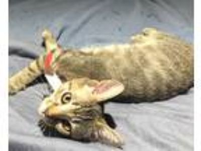 Adopt JUNE a Brown or Chocolate (Mostly) Domestic Shorthair / Mixed (short coat)