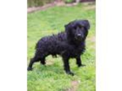 Adopt Lincoln a Black Miniature Poodle / Mixed dog in Whitehall, PA (25188653)