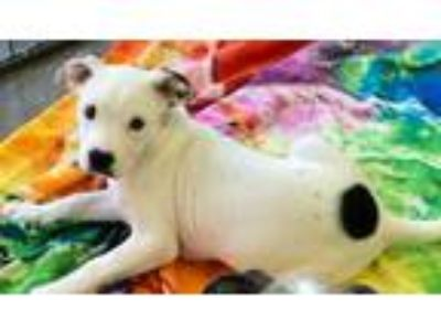 Adopt Stella-At Wagsmore! www.lhar.dog to apply! a Pit Bull Terrier, Hound
