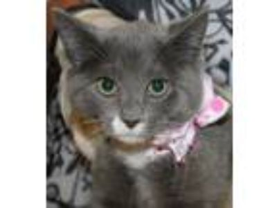 Adopt MEADOW a Domestic Short Hair
