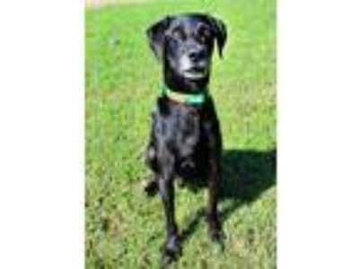 Adopt Elliot a Black Labrador Retriever / Mixed dog in Shreveport, LA (23747562)