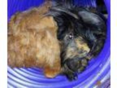 Adopt Reeses a Black Guinea Pig small animal in Brea, CA (25880734)